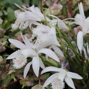 Pleione grandiflora white hybrids