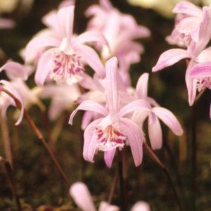 Pleione yunnanensis