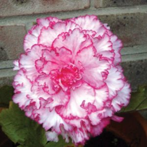 Begonia Picotee Red/White