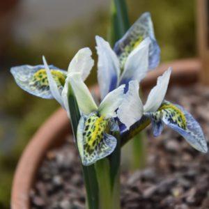 Iris Dwarf Splish Splash