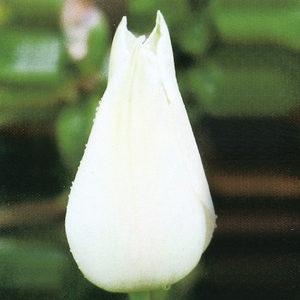 Tulip Historical Alba Regalis