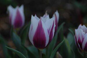 Tulip Duc Van Tol Violet