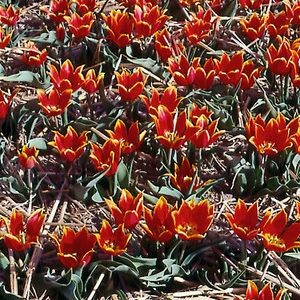 Tulip Duc Van Tol Red & Yellow