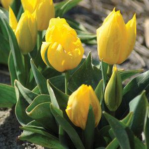 Tulip Duc Van Tol Primrose