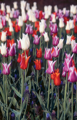 Lily Flowered Collection - 30 bulbs