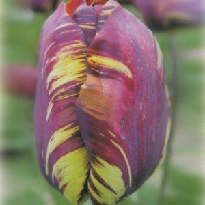 Tulip Rembrandt Absalon