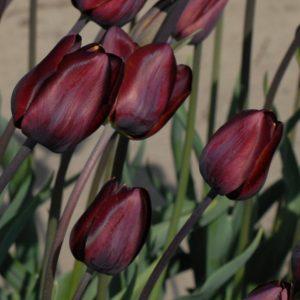 Tulip Breeder Dom Pedro