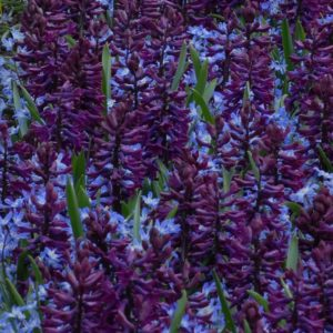 Hyacinth Outdoor Woodstock & Chionodoxa forbesii Collection