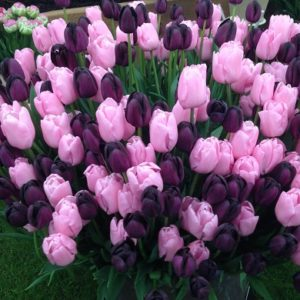 Tulip Partners Queen of NIght & Pink Diamond  - 40 bulbs