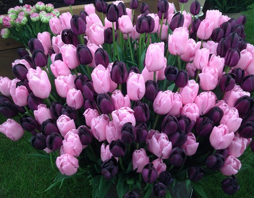 Tulip Partners Queen of NIght & Pink Diamond  - 40 bulbs