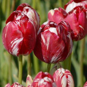 Tulip Rembrandt Mabel