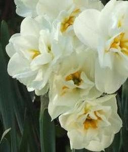 Narcissi Division 4 Double Daffodils Bridal Crown