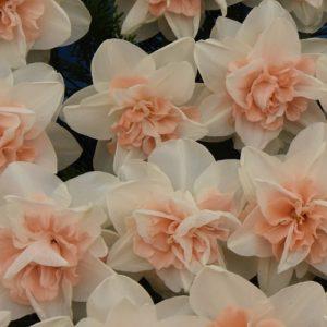 Narcissi Division 4 Double Daffodils Delnashaugh
