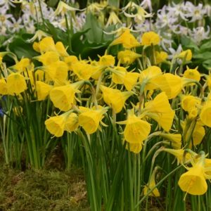 Narcissi Division 10 Species Oxford Gold