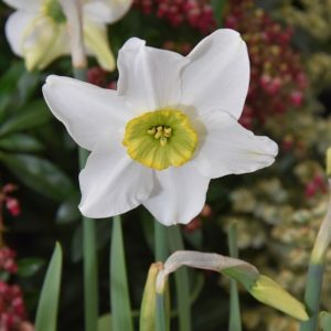 Narcissi Division 3 Small Cupped Sinopel