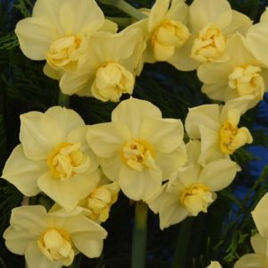 Narcissi Division 4 Double Daffodils Yellow Cheerfulness AGM