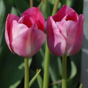 Tulip Breeder Rose des Dames