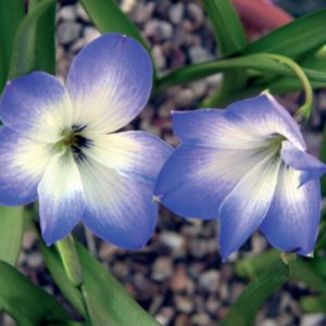 Tecophilaea cyanocrocus Stormcloud