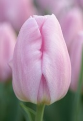Tulip Triumph Synaeda Amor