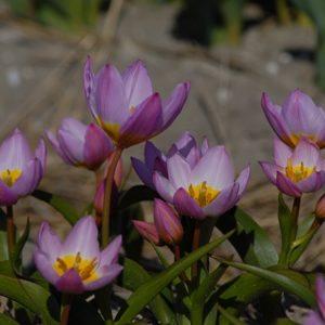 Tulip Specie bakeri Lilac Wonder AGM