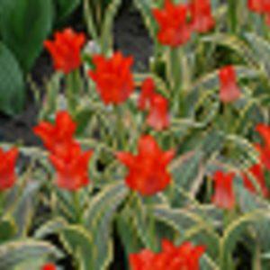 Tulip Dwarf Early Fire of Love