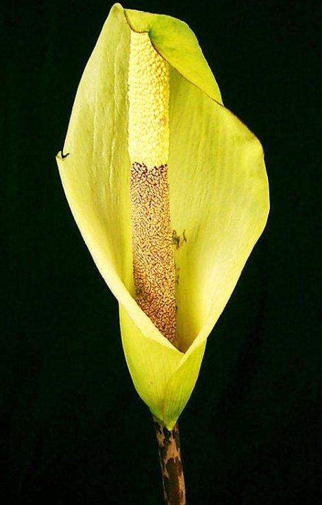 Amorphophallus nepalensis