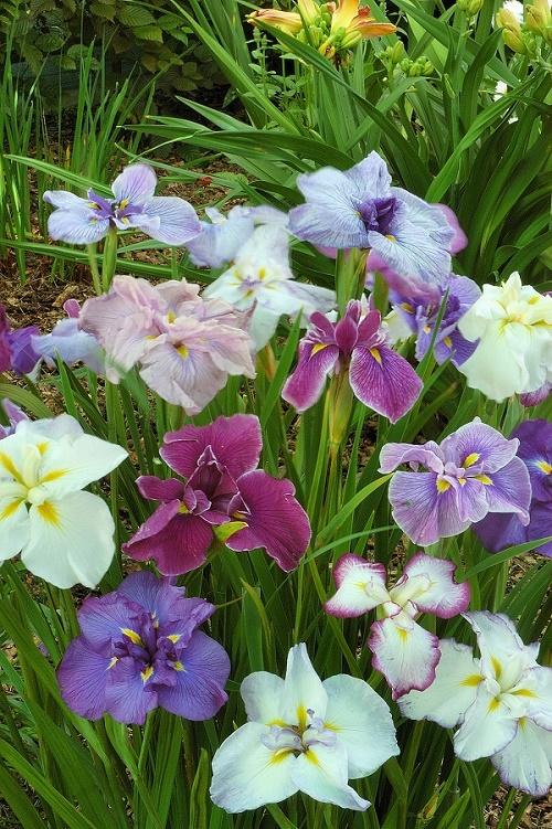 Iris Ensata Breeders Mixture