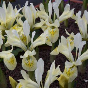Iris Dwarf Katharine's Gold