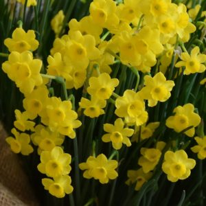 Narcissi Division 10 Species More and More