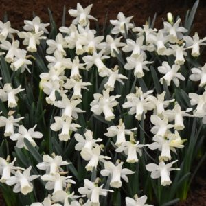 Narcissi Division 1 Trumpet Snow Baby
