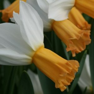 Narcissi Division 6 Cyclamineus Winter Waltz