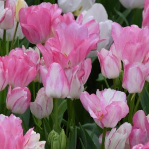Tulip Multiflora Dream Club
