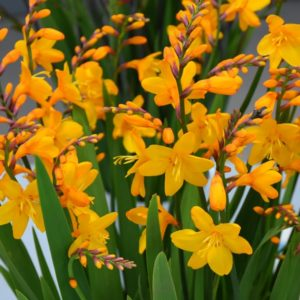 Crocosmia Columbus