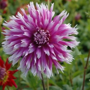 Dahlia Table Dancer