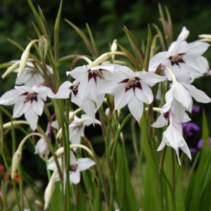 Gladioli callianthus (Acidanthera) AGM