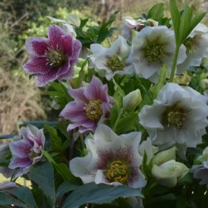 Helleborus double mixed colours