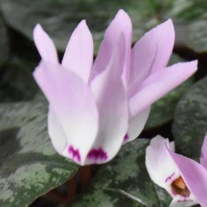 Cyclamen libanoticum