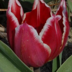 Tulip Duc Van Tol Red & White
