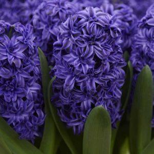 Hyacinth Outdoor Royal Navy