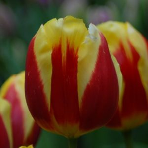 Tulip Historical Kiezerskroon