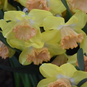 Narcissi Division 2 Large Cupped Color Run