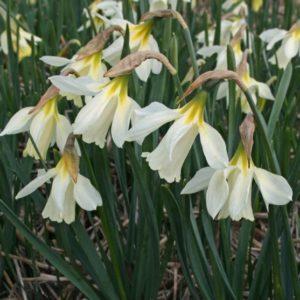Narcissi Division 10 Species moschatus