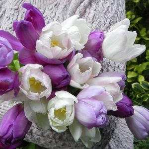 Tulip Purple Blend - 60 bulbs