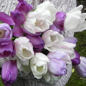 Tulip Purple Blend - 30 bulbs