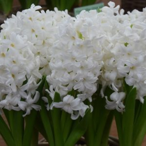 Hyacinth Outdoor Aiolos