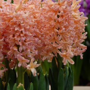 Hyacinth Outdoor Gipsy Queen AGM