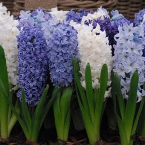 Hyacinth Outdoor Rhapsody in Blue Mixture