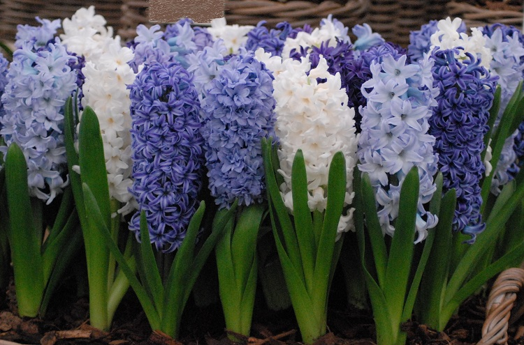 Hyacinth Outdoor Rhapsody in Blue Mixture