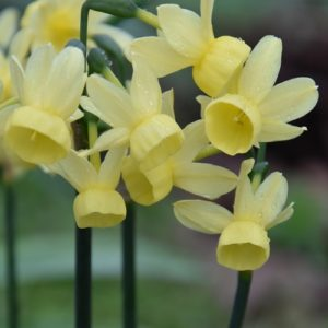 Narcissi Division 10 Species Angel's Whisper