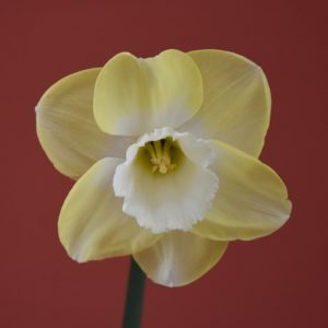 Narcissi Division 2 Large Cupped Avalon